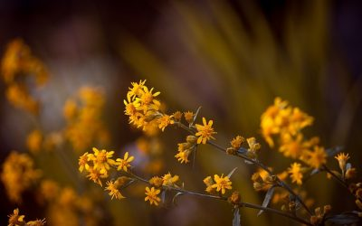 YOUR HOMEOPATHIC MEDICINE CHEST: ARNICA