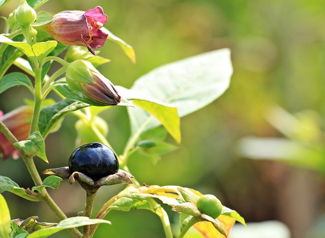 HOMEOPATHY AND AUTISM: BELLADONNA